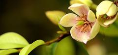 含笑花的养殖技巧有哪些?