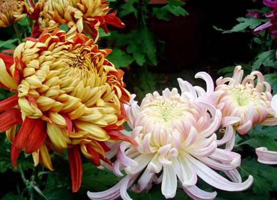 菊花的品种分类