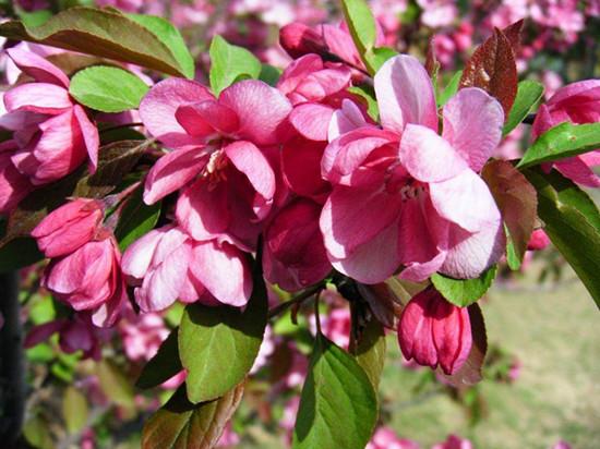 贴梗海棠的花语以及种植方法