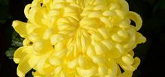 菊花的特点,菊花的品种分类