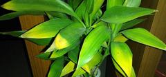 富贵竹叶子发黄怎么办,富贵竹怎么养?