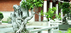 榕树盆景,清新雅致低调奢华!