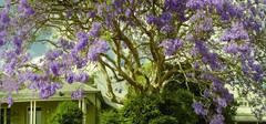 蓝花楹的生长习惯以及花语