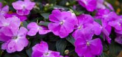 凤仙花的作用与功效有哪些?