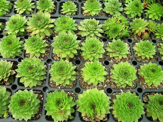 观音莲的养殖方法