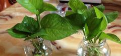水培绿萝有哪些养殖方法?