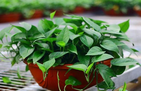 水培绿萝的养殖方法介绍