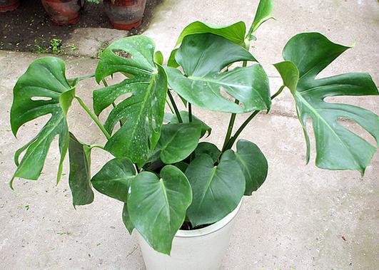 龟背竹的养殖方法和注意事项