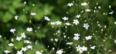 满天星的种植方法有哪些?