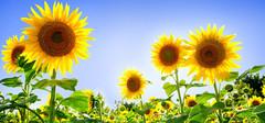 向日葵的花语以及传说