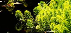 金鱼藻的养殖注意事项有哪些?