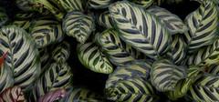 孔雀竹芋的寓意以及养殖方法