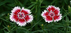 石竹花的花语,石竹花的养殖方法
