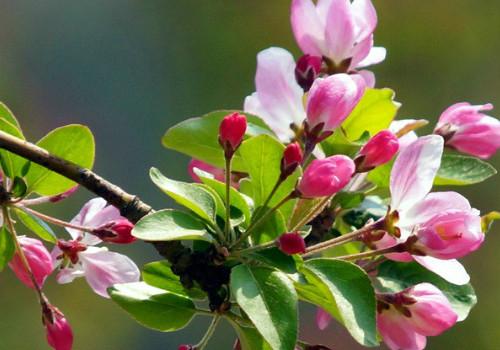 海棠花的养殖方法
