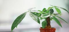 发财树的养殖方法是什么?