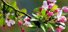 海棠花的养殖方法有哪些?