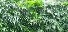 棕竹的养殖方法以及注意事项