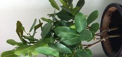 元宝树叶子发黄的5个原因以及解决办法