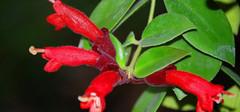 口红花的养殖注意事项