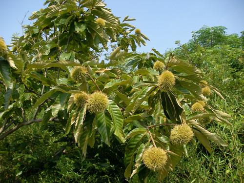 板栗树什么时候结果,板栗树的养殖方法