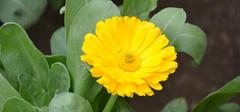 金盏菊的养殖方法介绍