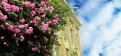 蔷薇花养殖有哪些技巧