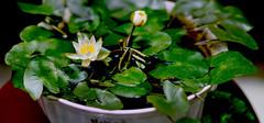 碗莲可以水培吗,碗莲的养殖方法