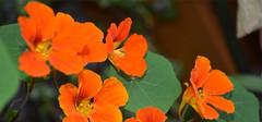 旱金莲的养殖方法介绍