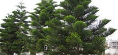 南洋杉的养殖方法以及注意事项