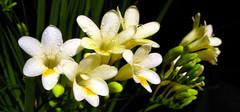 小苍兰的栽种技术以及花语