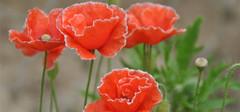 罂粟花的播种,罂粟花的花语
