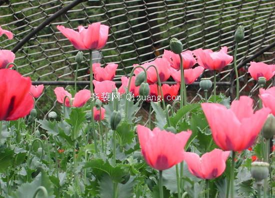 罂粟花的花语