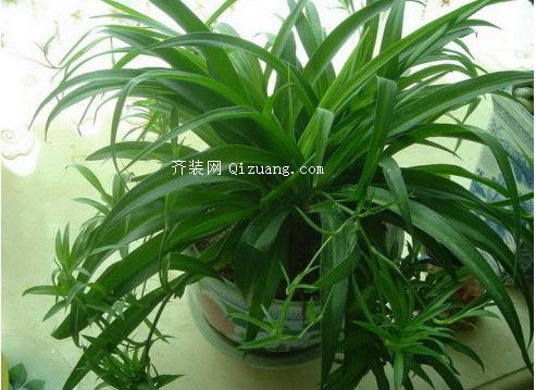 吸甲醛的植物-吊兰