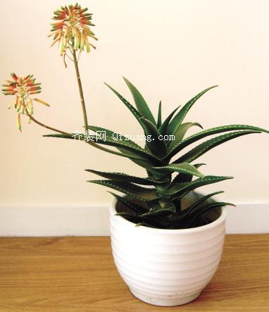 吸甲醛的植物-芦荟