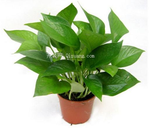吸甲醛的植物-绿萝