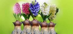 风信子花语是什么?怎么种植?