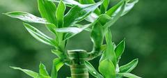 养殖富贵竹需要注意什么?