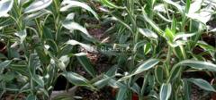 富贵竹是什么?富贵竹怎么养?