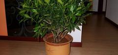 平安树的室内养殖方法有哪些?
