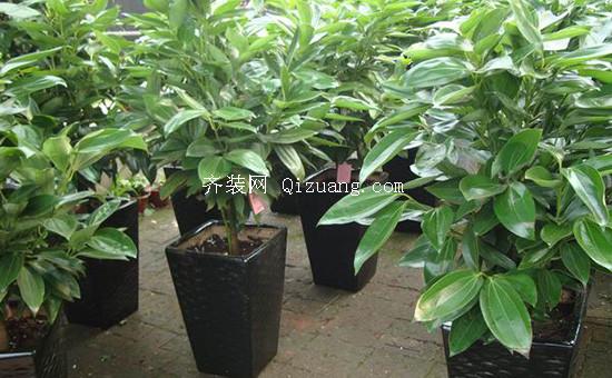 平安树的养殖方法
