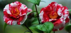 山茶花的养殖方法分享,赶紧收藏!