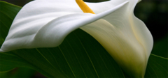 马蹄莲的花语和种植方法,赶快收了!