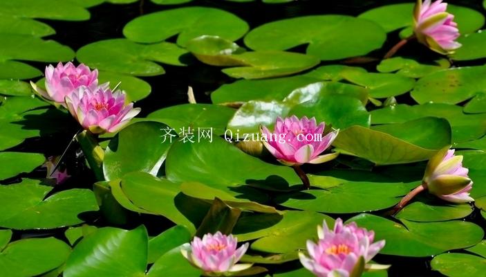 睡莲的种植方法