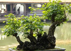 榕树盆景怎么养?掌握技巧是关键