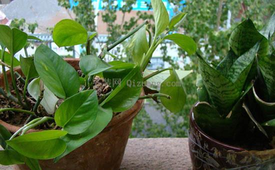除甲醛植物