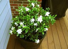 栀子花的养殖方法,让花香芬芳满室