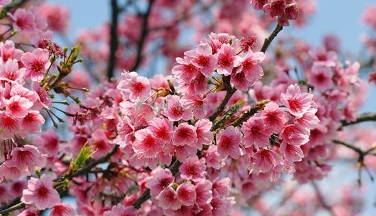 浪漫樱花季