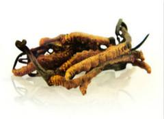 冬虫夏草的功效与作用是什么?