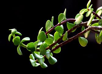 马齿苋树最全面的养殖方法