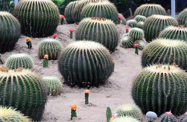 防辐射植物仙人掌